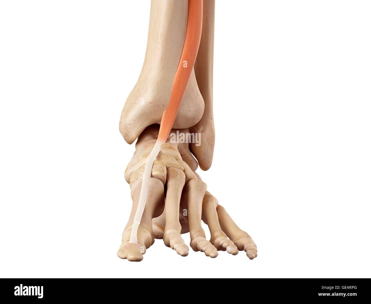 Fantastisch Anatomie Der Oberschenkelmuskulatur Und Sehnen Ideen ...