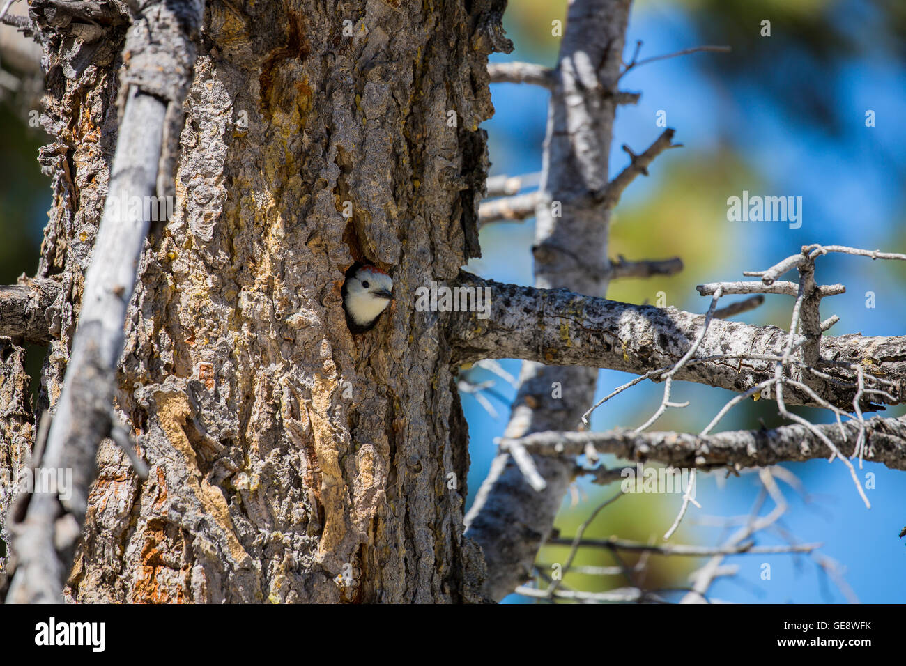 nest in a tree stockfotos nest in a tree bilder alamy. Black Bedroom Furniture Sets. Home Design Ideas