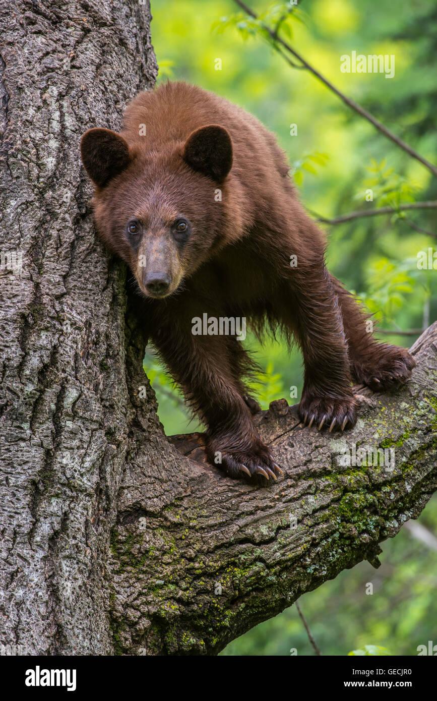 Schwarzer Bär Jährling, Zimt Phase, Urus Americanus in Nordamerika Baum stehend Stockfoto