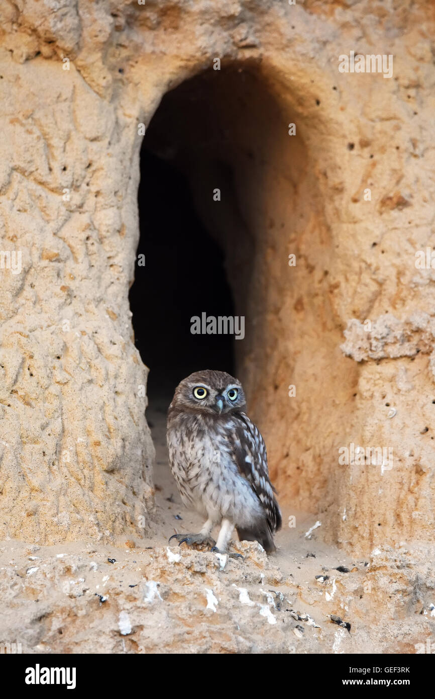 Steinkauz in seiner burrow Stockfoto
