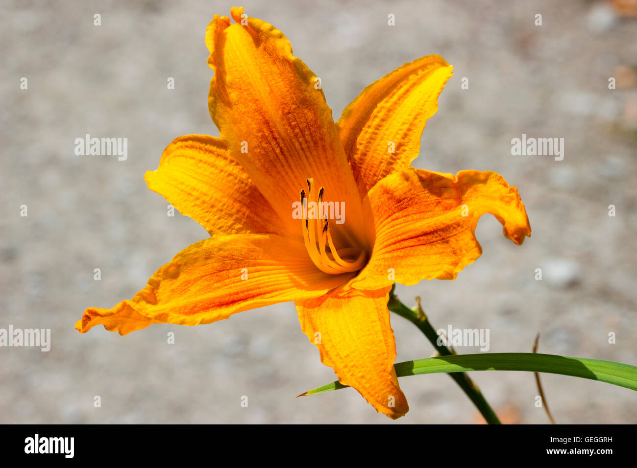"Lebhaft gelb orange Trompete Blume von der Taglilie Hemerocallis ""Burning Daylight"" Stockbild"