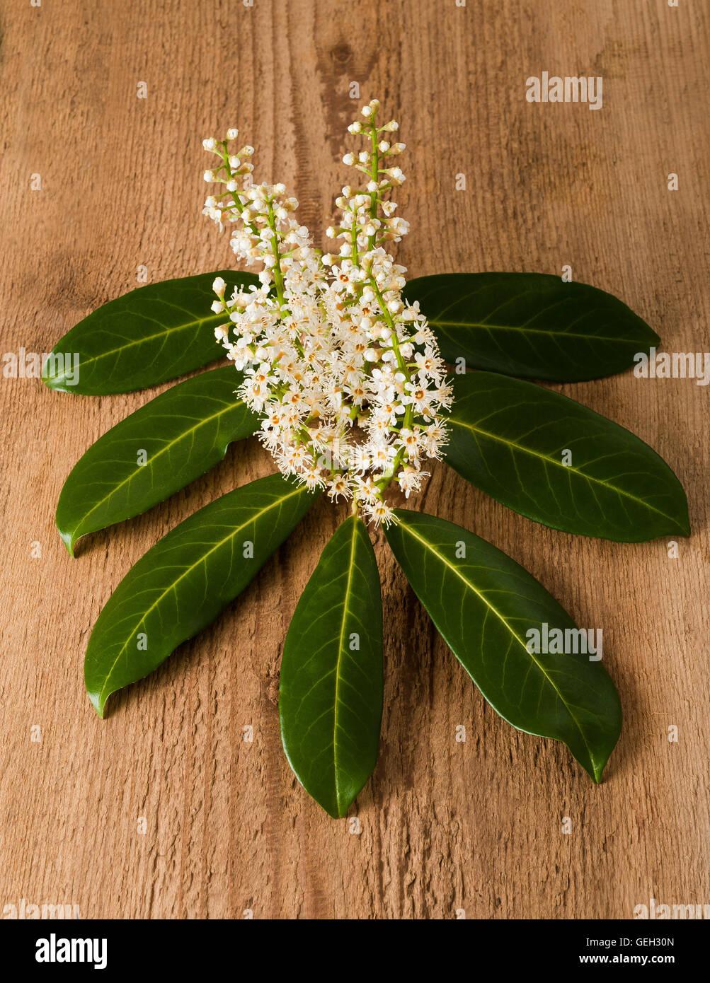 Kirschlorbeer Blumen mit Blättern Stockbild