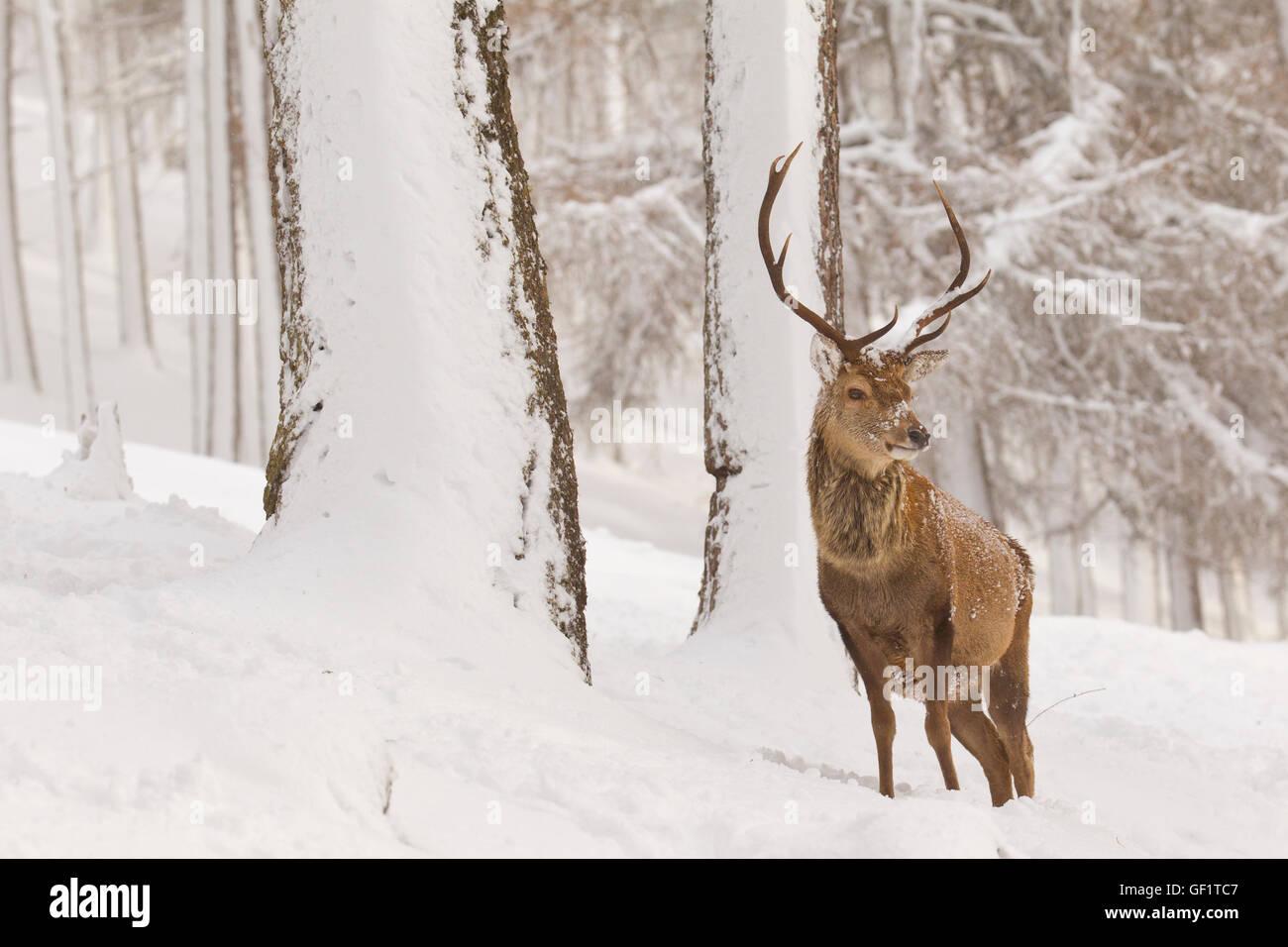 Rotwild im Winter Schnee Stockbild