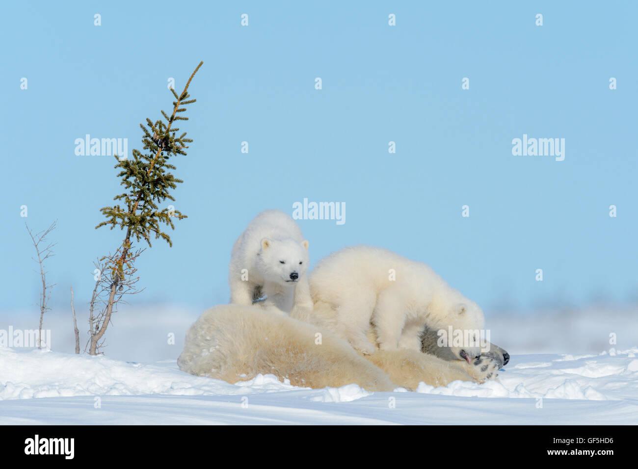 Eisbär-Mutter (Ursus Maritimus) liegend mit zwei spielenden Jungen, Wapusk-Nationalpark, Manitoba, Kanada Stockbild