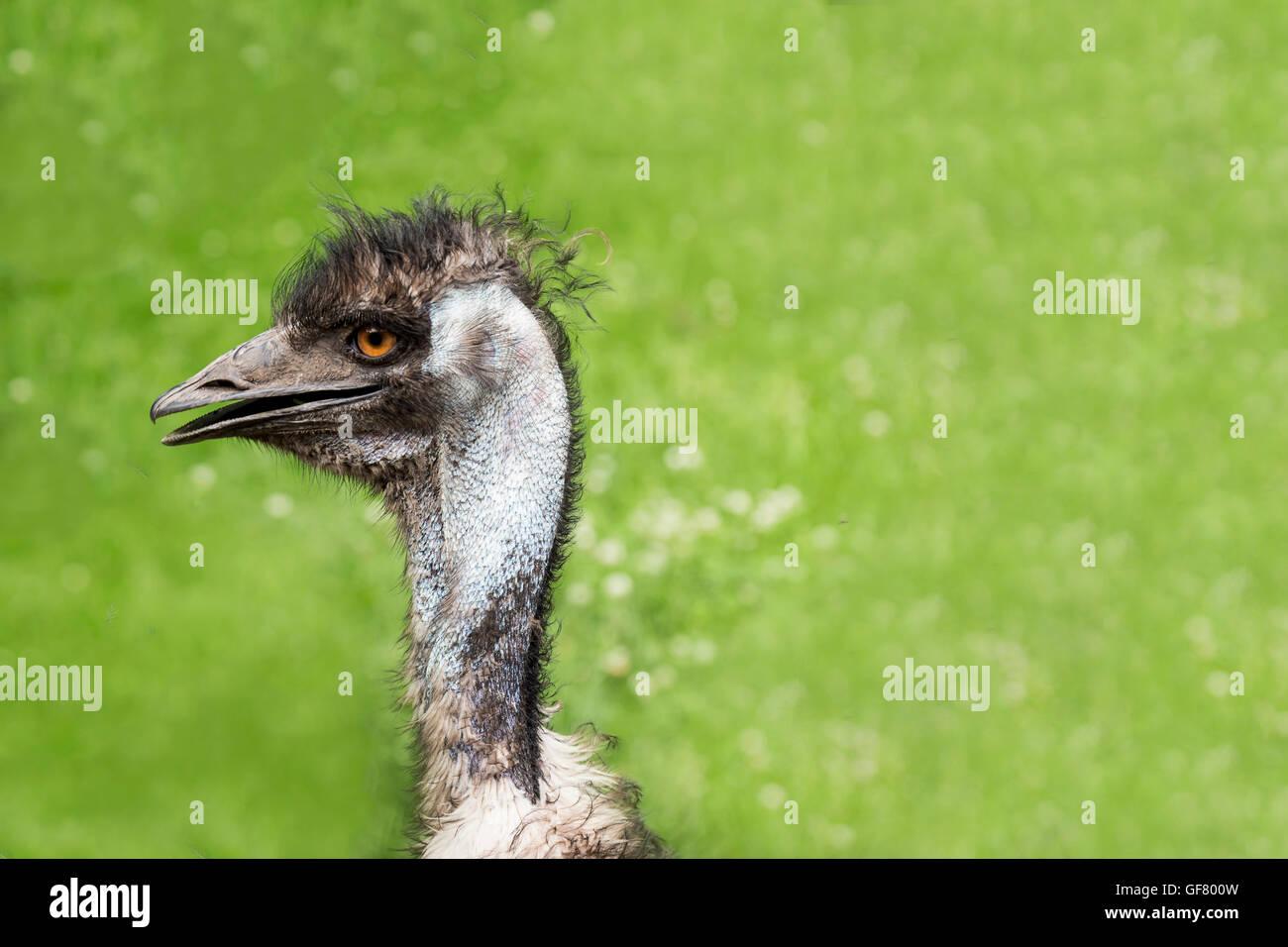 Ein Emu am Toronto Zoo, Canada. Stockbild