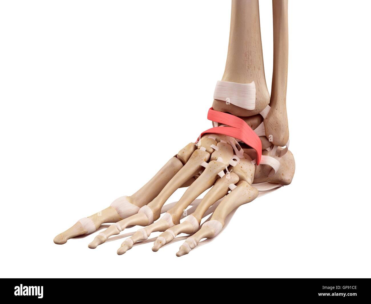 Anatomie des menschlichen Fußes, Abbildung Stockfoto, Bild ...