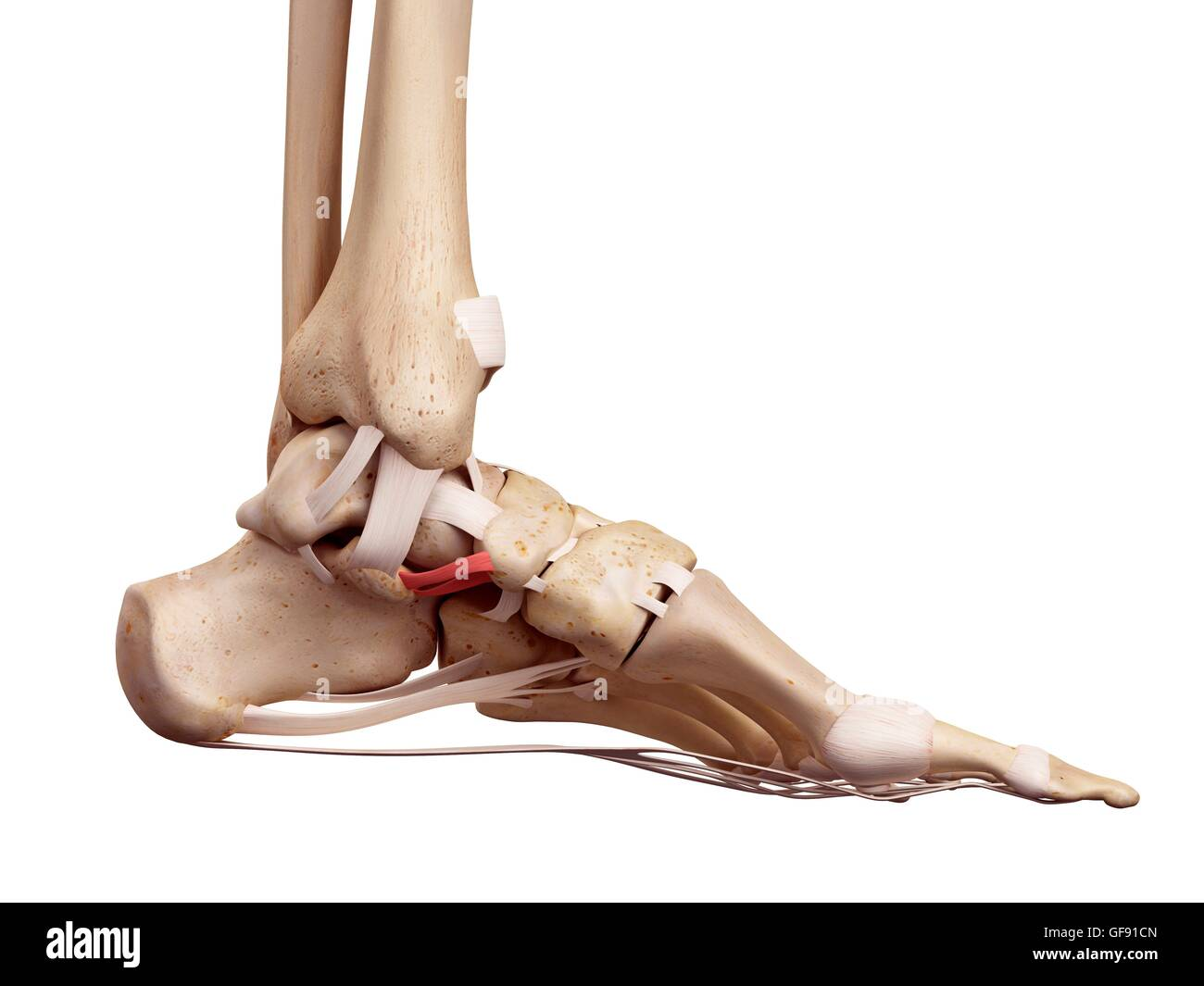 Foot Anatomy 3d Stockfotos & Foot Anatomy 3d Bilder - Alamy