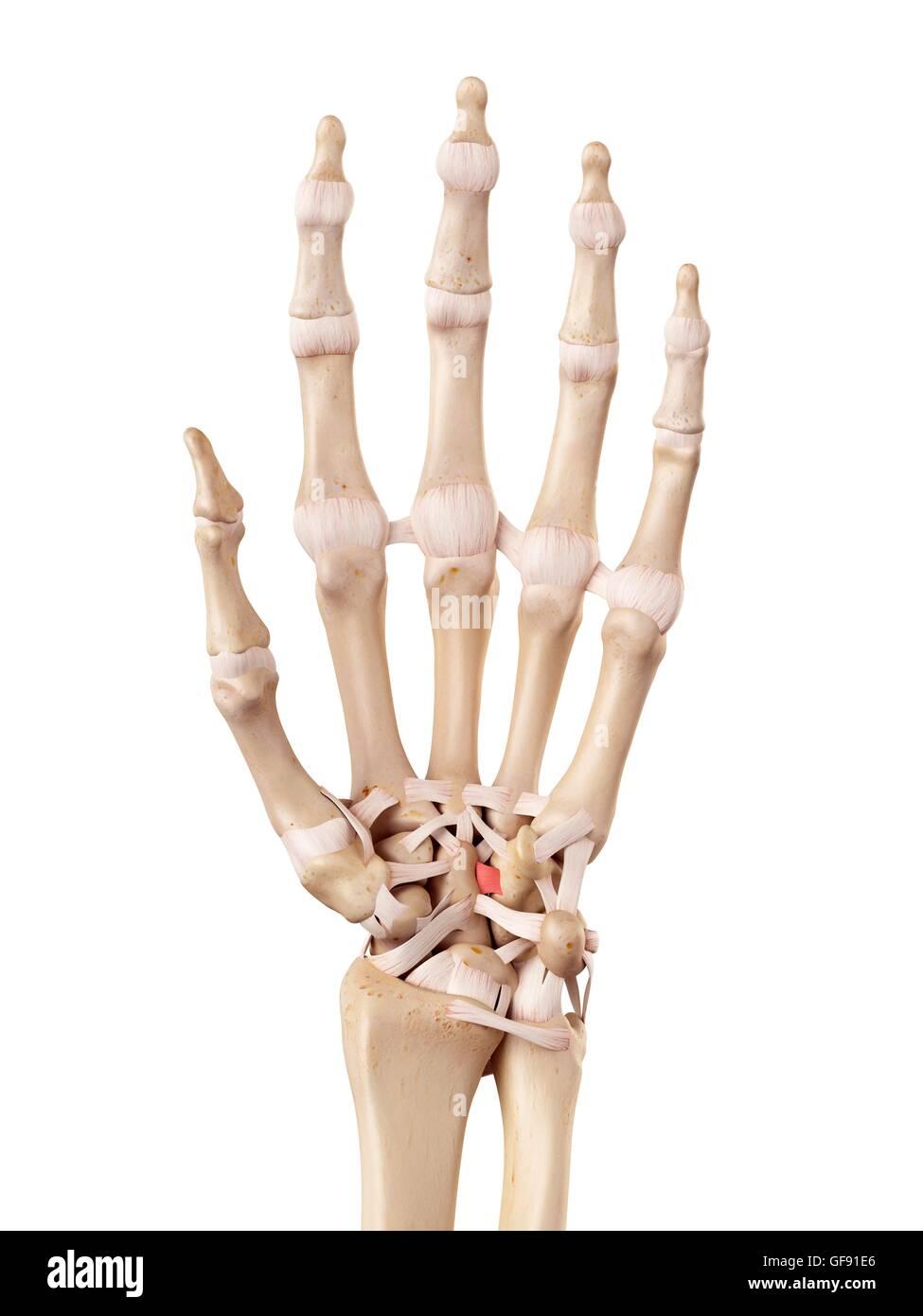 Anatomie der menschlichen Hand, Abbildung Stockfoto, Bild: 112680798 ...