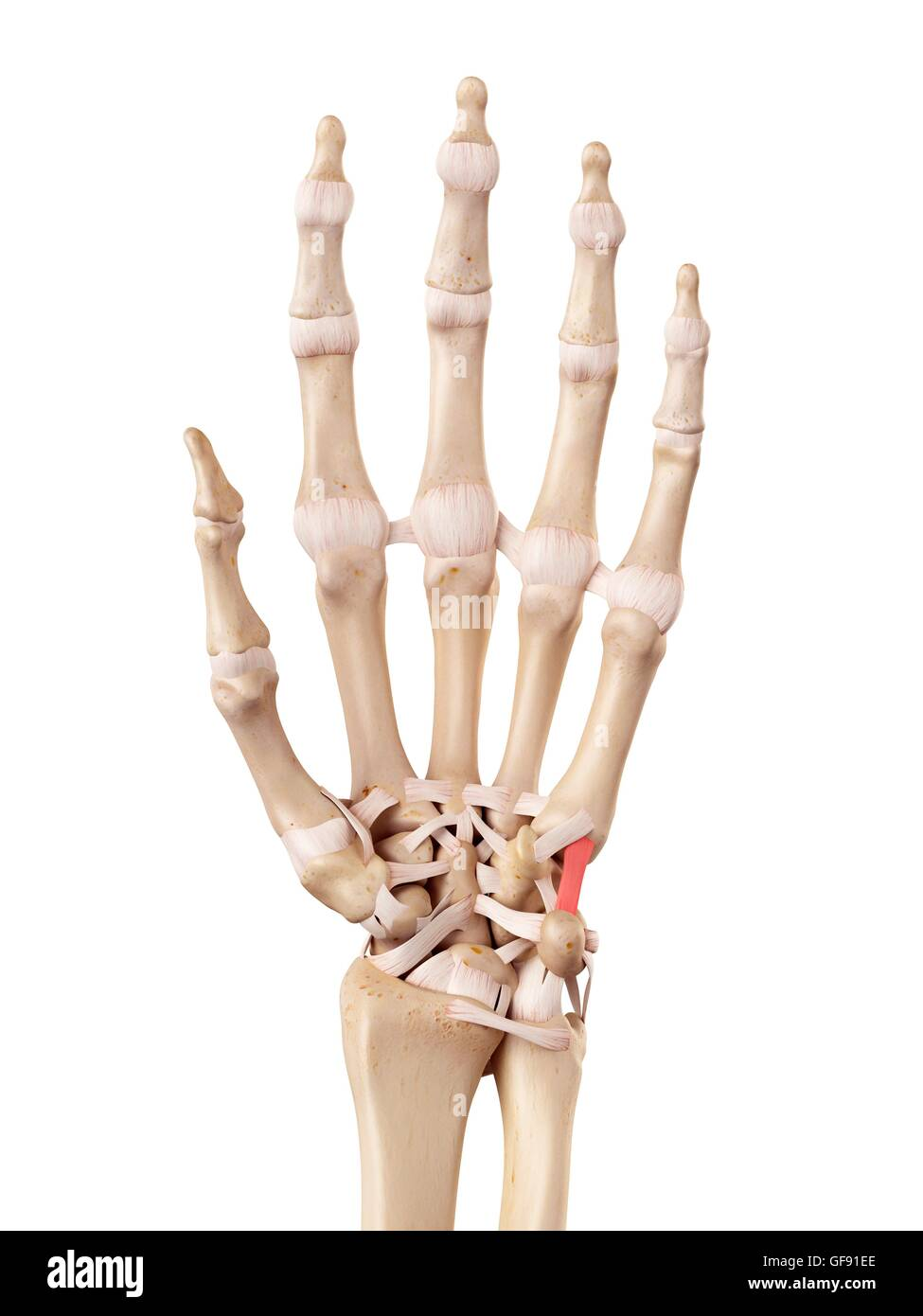 Human Fingers Anatomy Stockfotos & Human Fingers Anatomy Bilder - Alamy