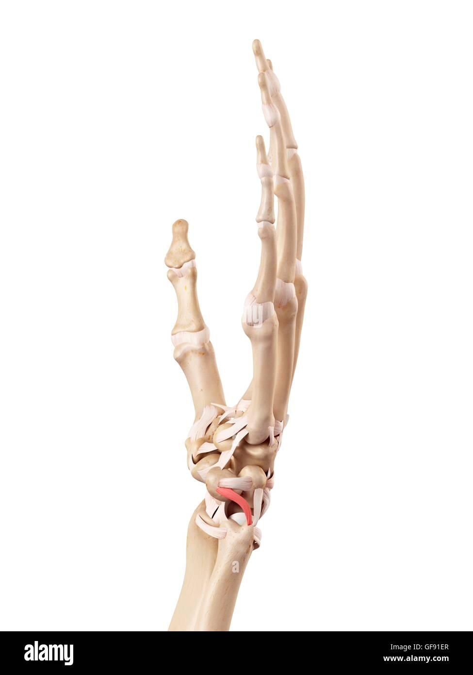 Anatomie der menschlichen Hand, Abbildung Stockfoto, Bild: 112680815 ...