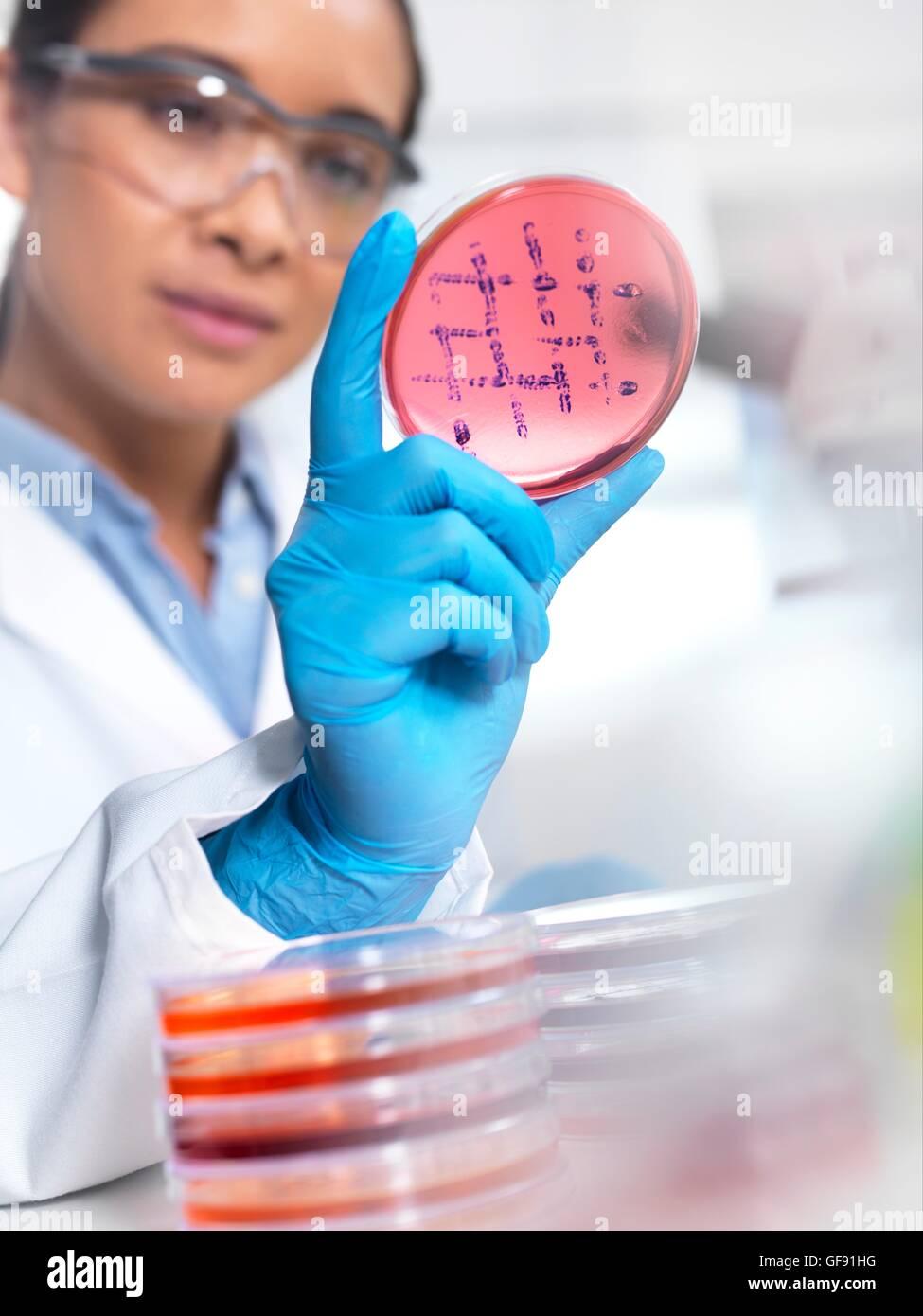EIGENTUM FREIGEGEBEN. -MODELL VERÖFFENTLICHT. Wissenschaftler untersuchen mikrobiologische Kulturen in einer Petrischale. Stockfoto