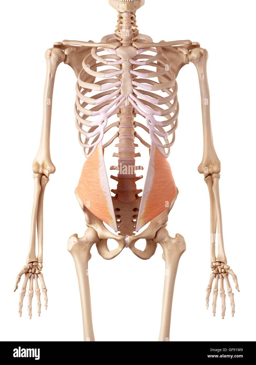 3d Abdomen Abdominal Anatomical Stockfotos & 3d Abdomen Abdominal ...