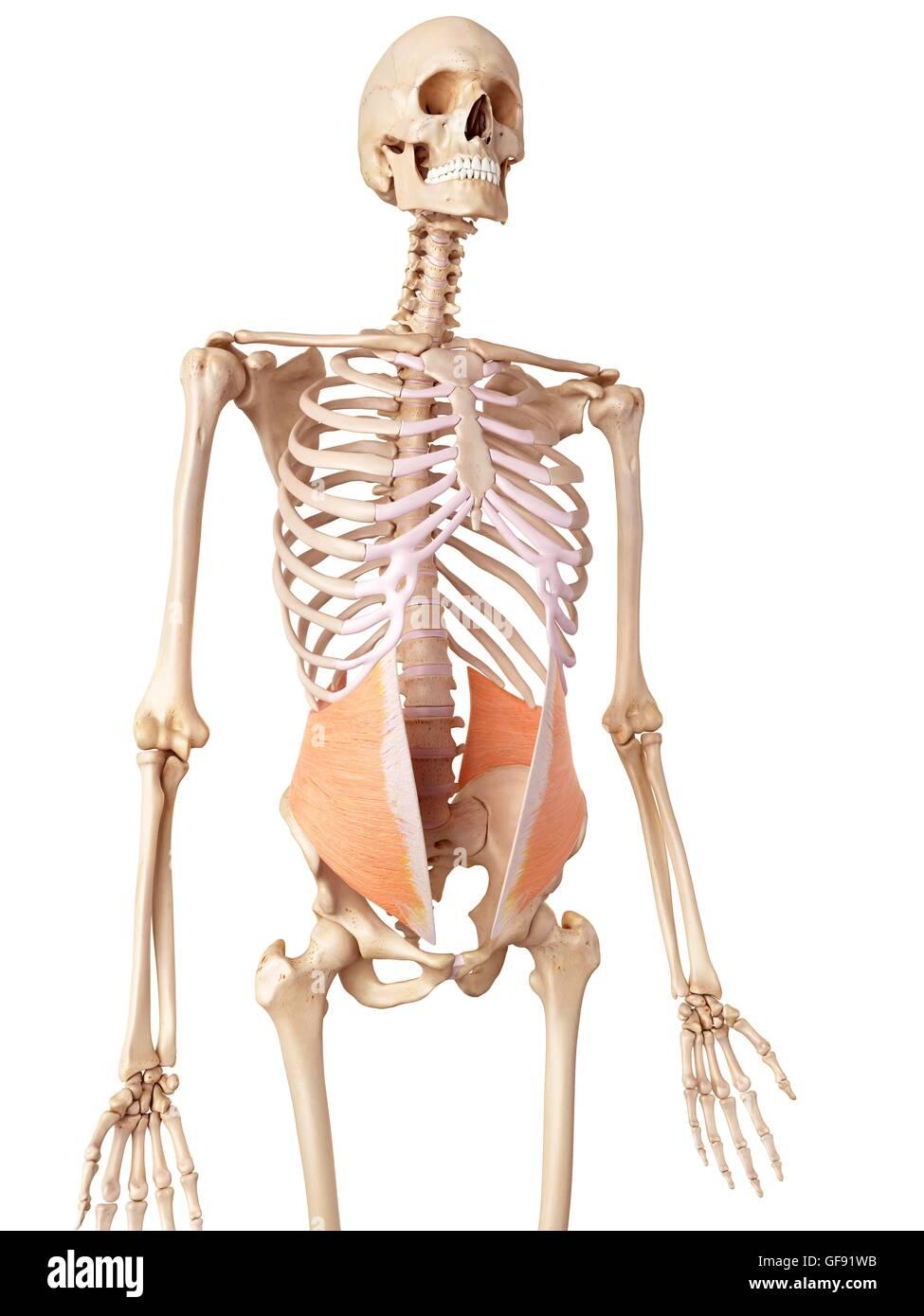 Menschliche Bauch-, Illustration Stockfoto, Bild: 112681111 - Alamy