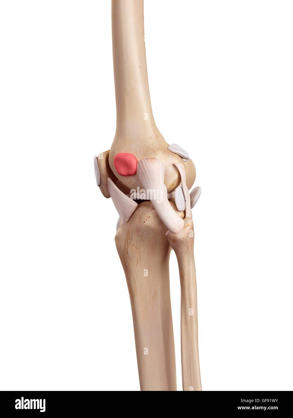 Menschlichen Knie Anatomie, Abbildung Stockfoto, Bild: 112681127 - Alamy
