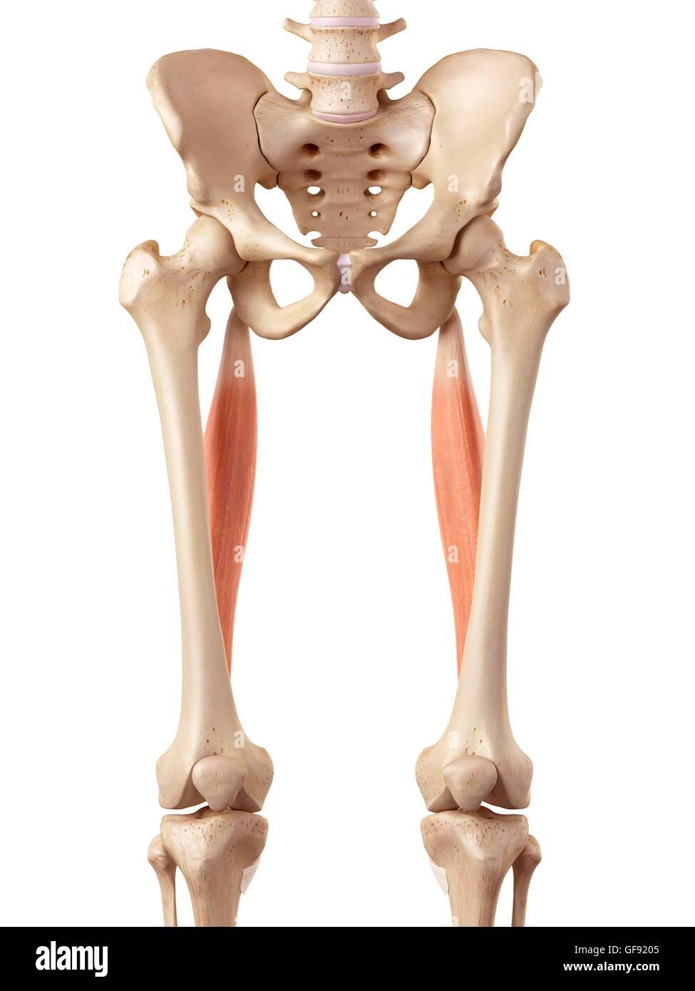 Charmant Beinmuskelanatomie Abbildungen Fotos - Anatomie Von ...