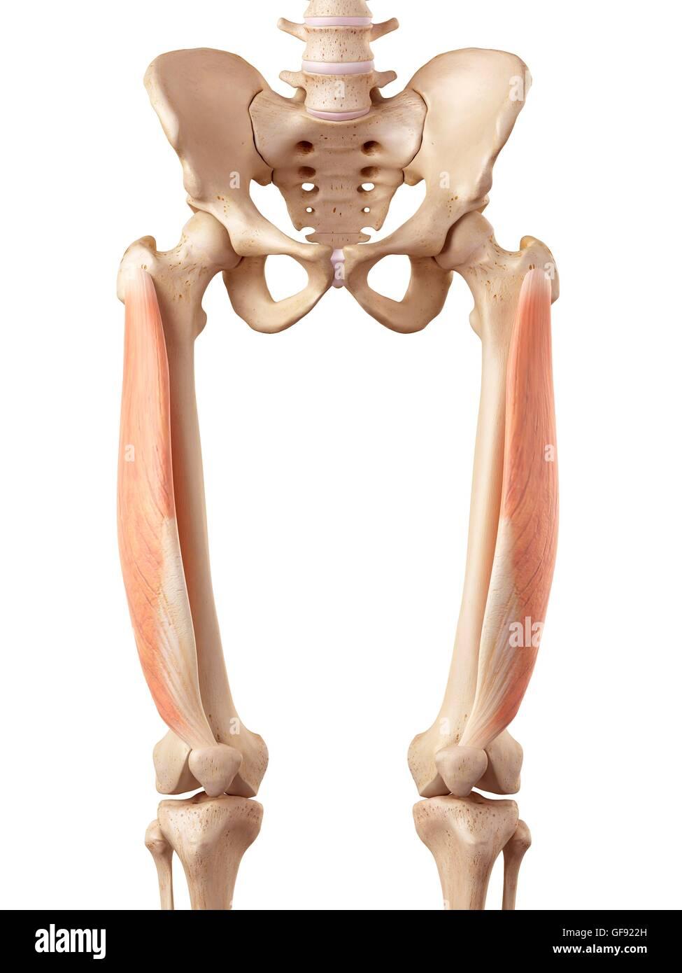 Ausgezeichnet Muskeln Der Oberen Extremität Anatomie Galerie ...