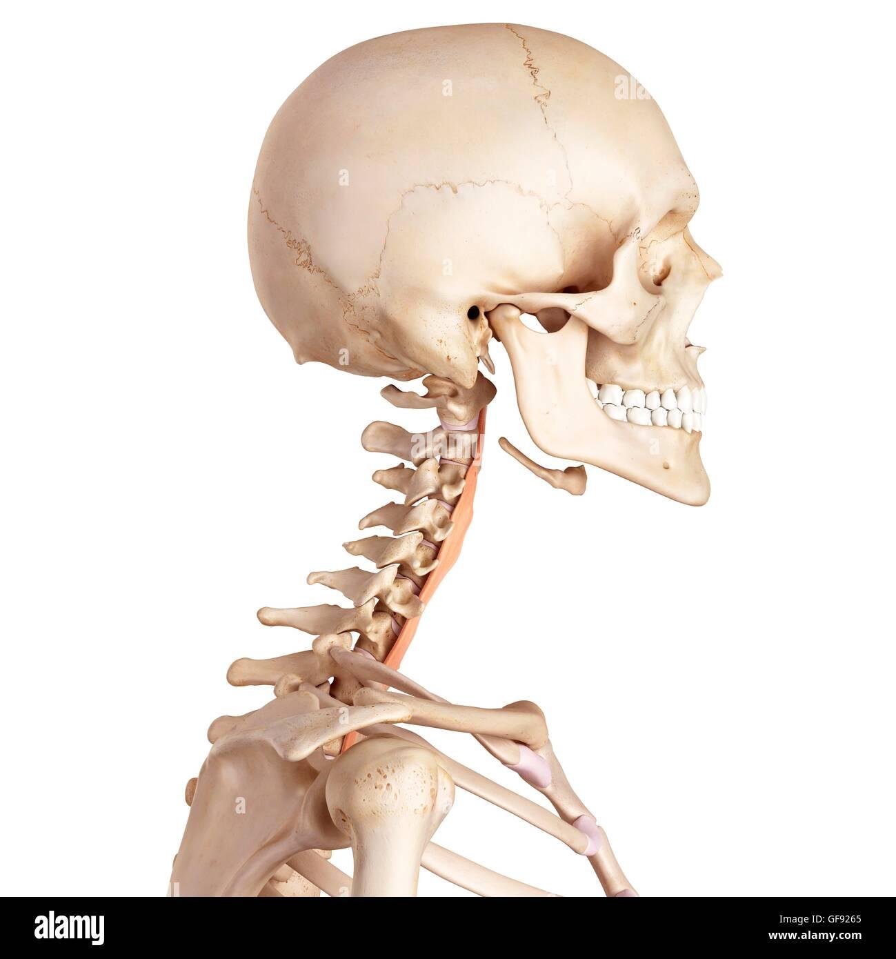 Atemberaubend Menschliche Nackenmuskulatur Diagramm Ideen ...