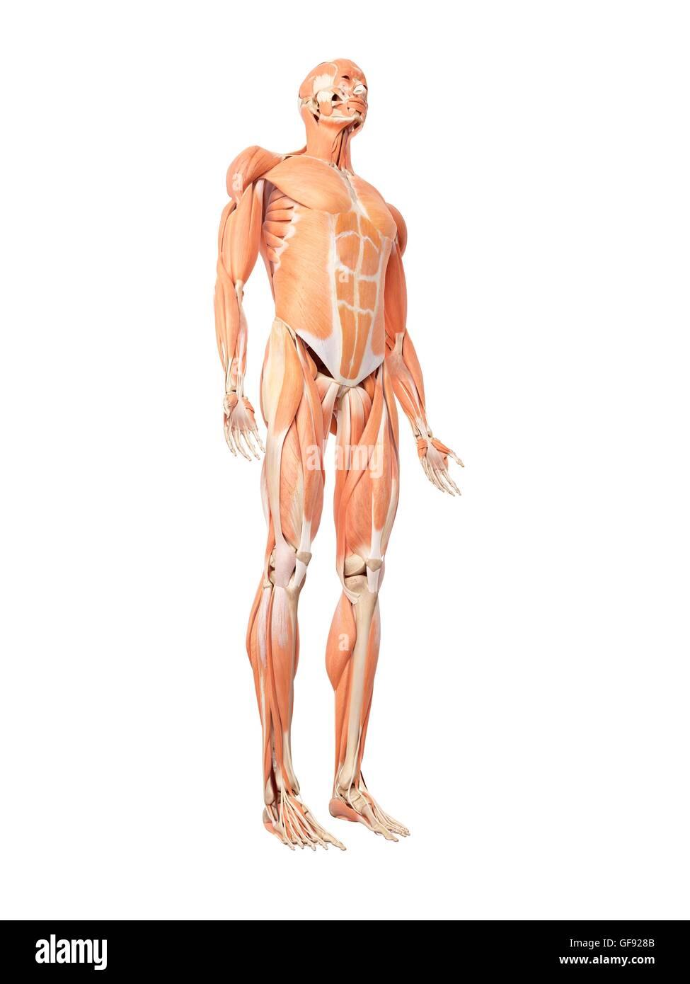 Ziemlich Diagramm Der Körpermuskulatur Zeitgenössisch - Menschliche ...