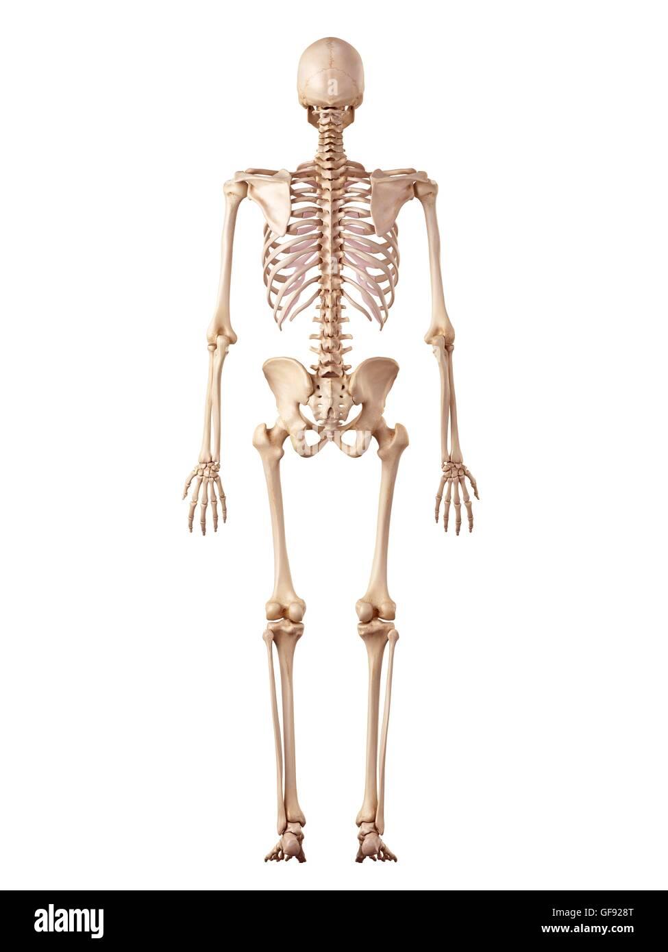 Menschliches Skelett-System, Abbildung Stockfoto, Bild: 112681432 ...