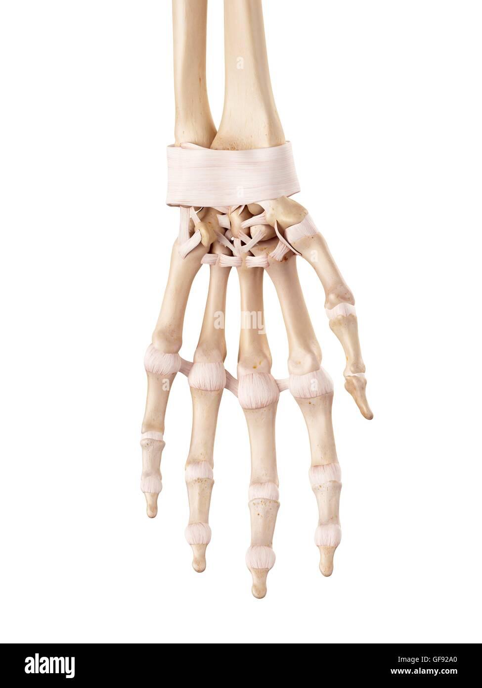 Menschliche Hand Bänder, Abbildung Stockfoto, Bild: 112681464 - Alamy