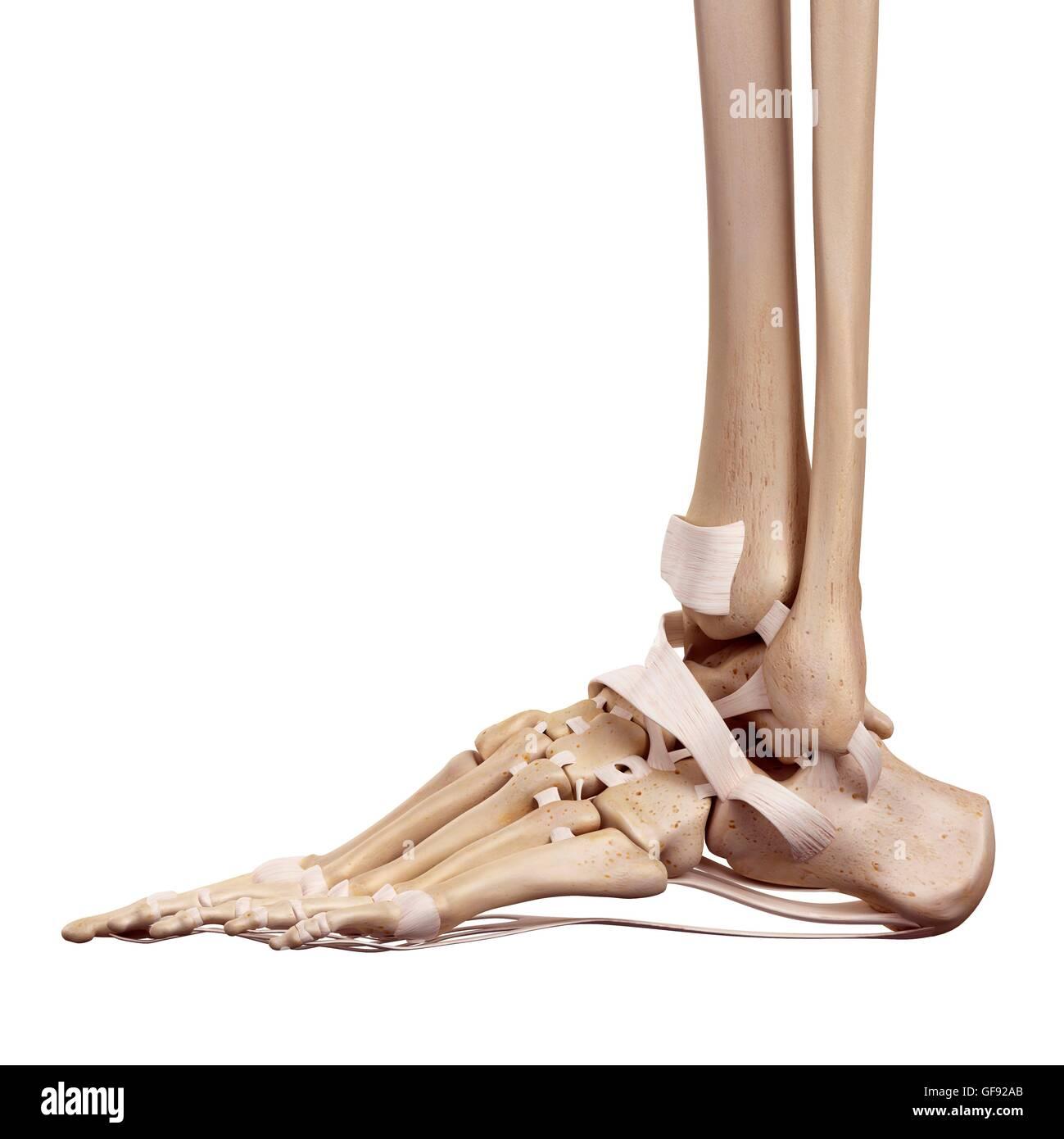 Menschlicher Fuß Bänder, Abbildung Stockfoto, Bild: 112681475 - Alamy