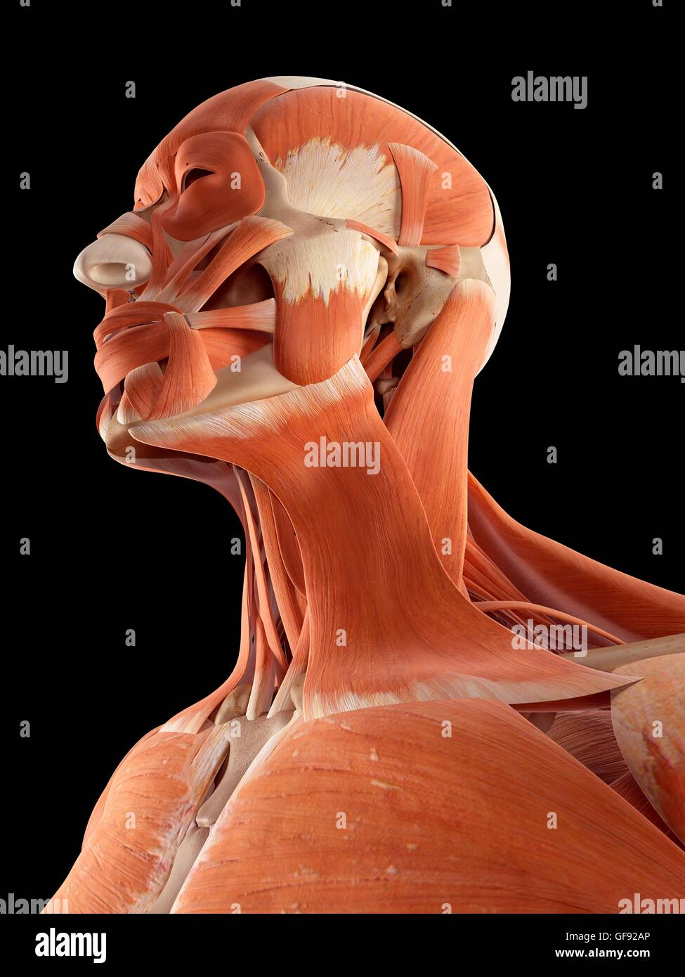 Head And Neck Muscles Stockfotos & Head And Neck Muscles Bilder - Alamy