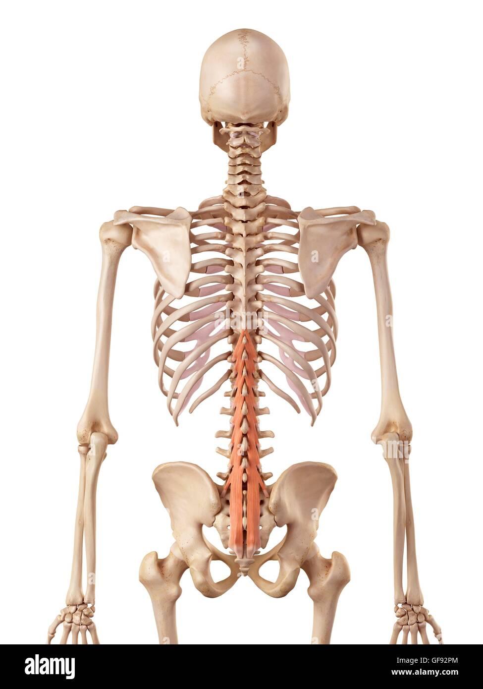 Menschliche Wirbelsäule Muskeln, Abbildung Stockfoto, Bild ...