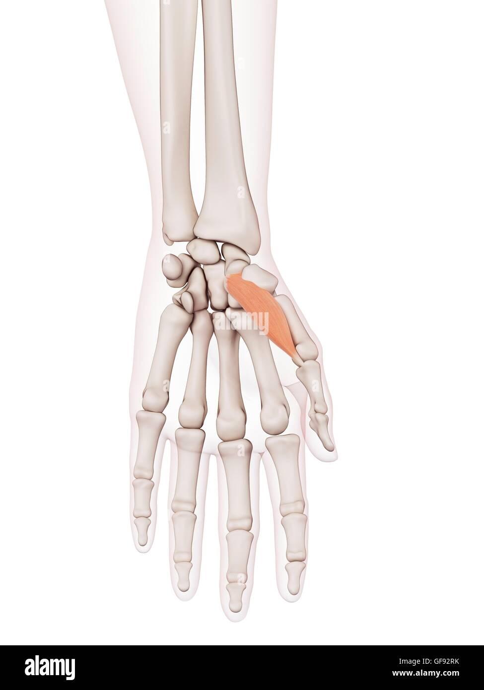 Beste Bild Der Menschlichen Hand Knochen Fotos - Menschliche ...