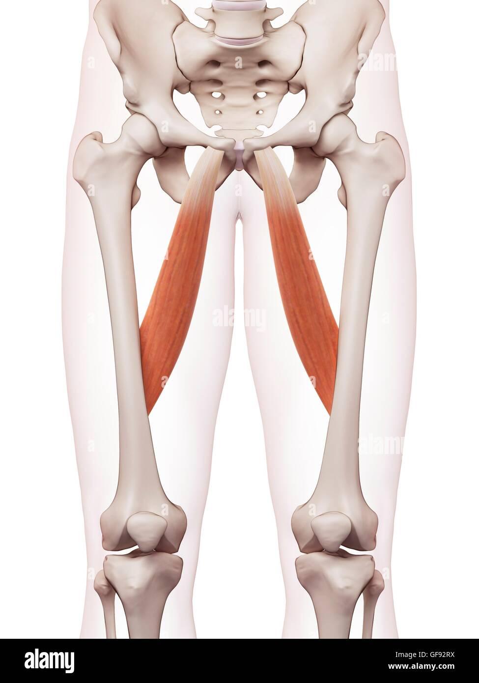 Menschliches Beinmuskeln, Abbildung Stockfoto, Bild: 112681854 - Alamy