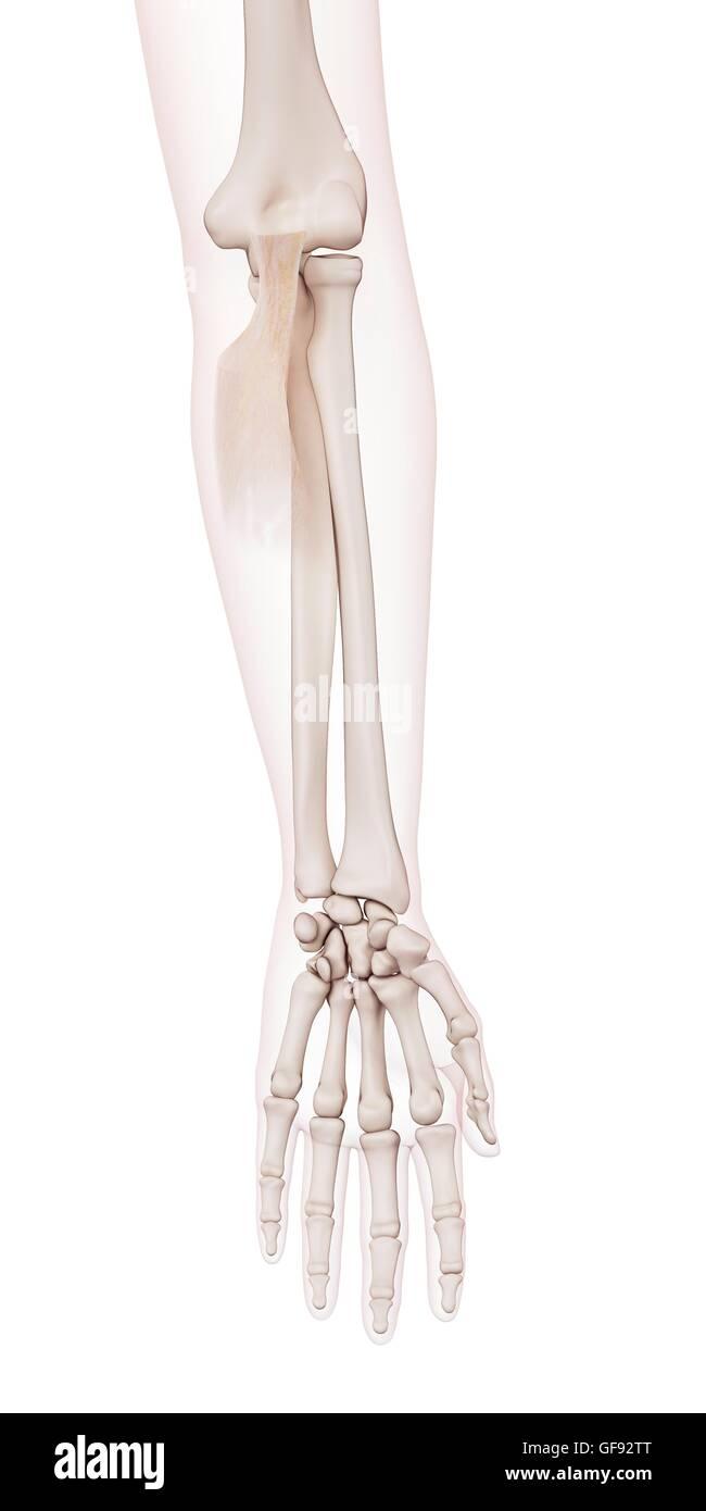 Berühmt Ellbogen Muskeln Zeitgenössisch - Menschliche Anatomie ...
