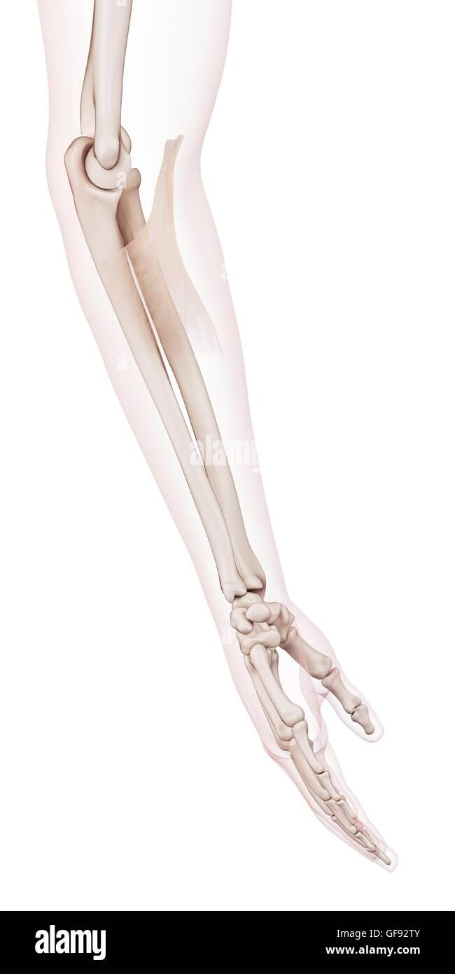 Menschlichen Ellbogen Muskel, Abbildung Stockfoto, Bild: 112681883 ...