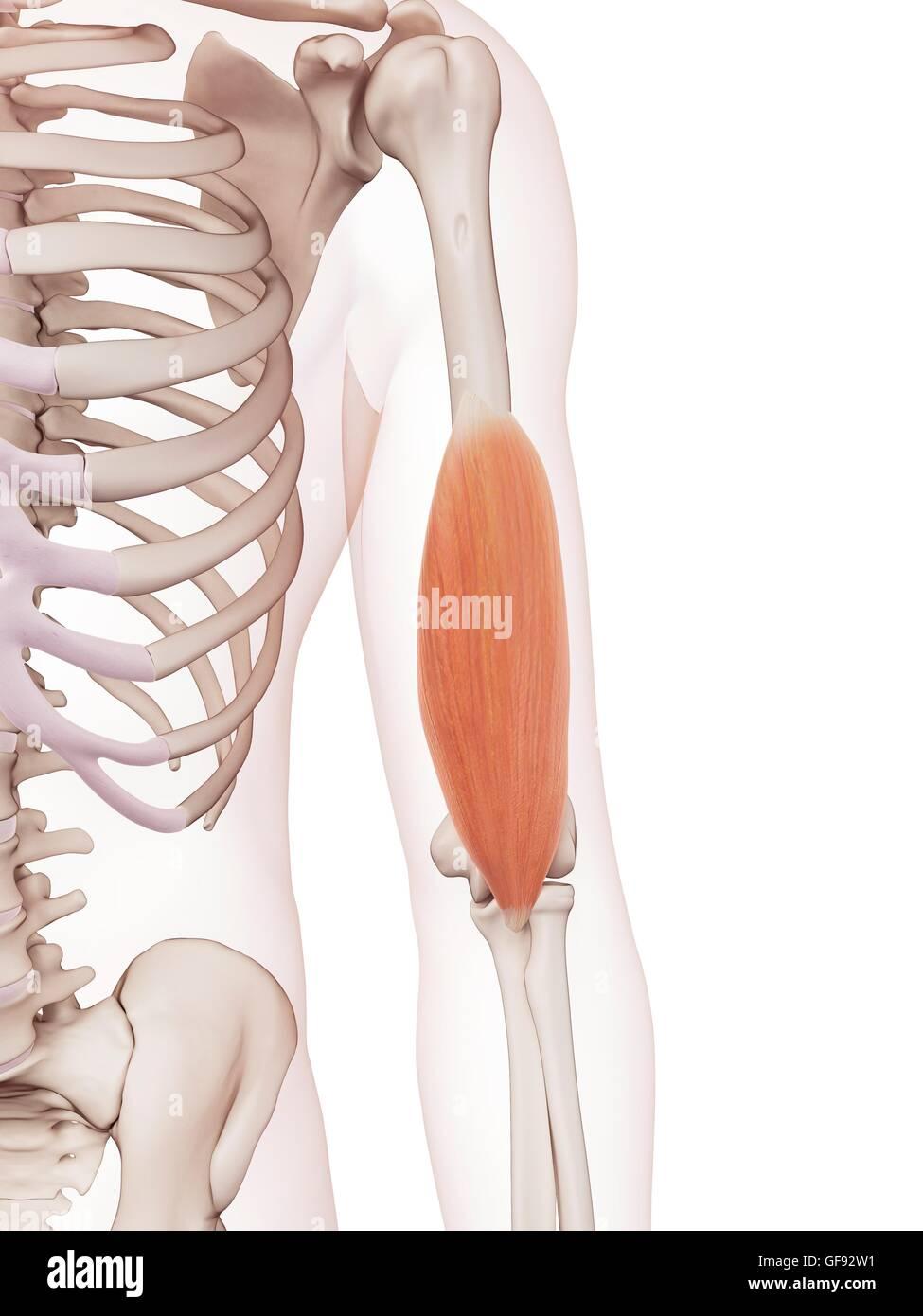 Menschlicher Arm Muskel, Abbildung Stockfoto, Bild: 112681885 - Alamy
