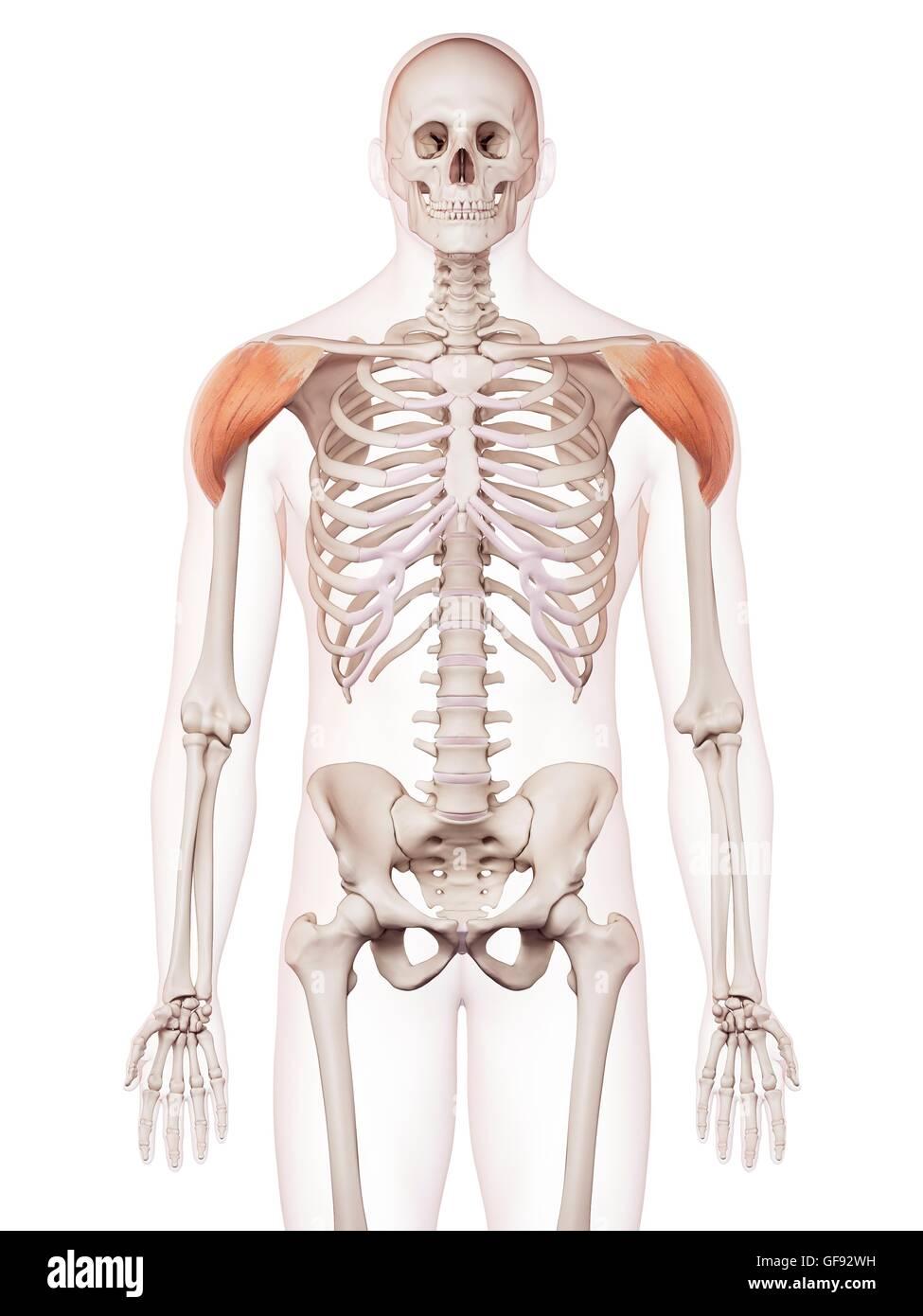 Großzügig Zurück Schultermuskulatur Bilder - Menschliche Anatomie ...