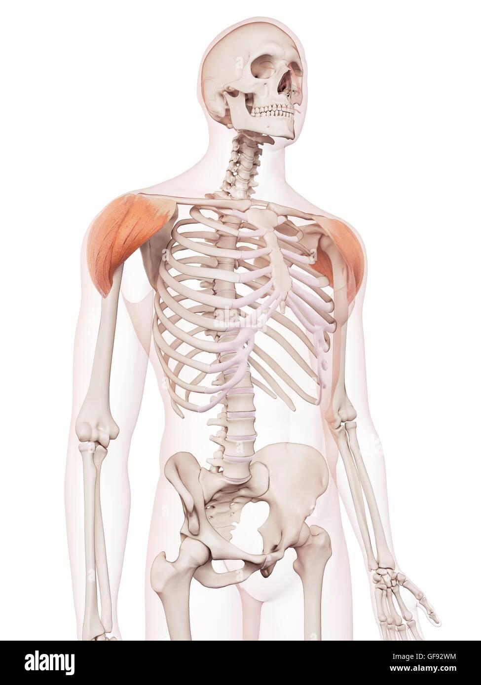 Ungewöhnlich Hals Schultermuskulatur Bilder - Menschliche Anatomie ...