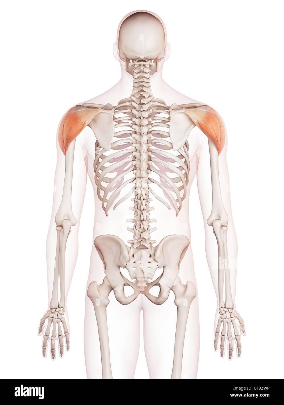 Großartig Schultermuskulatur Zeitgenössisch - Menschliche Anatomie ...