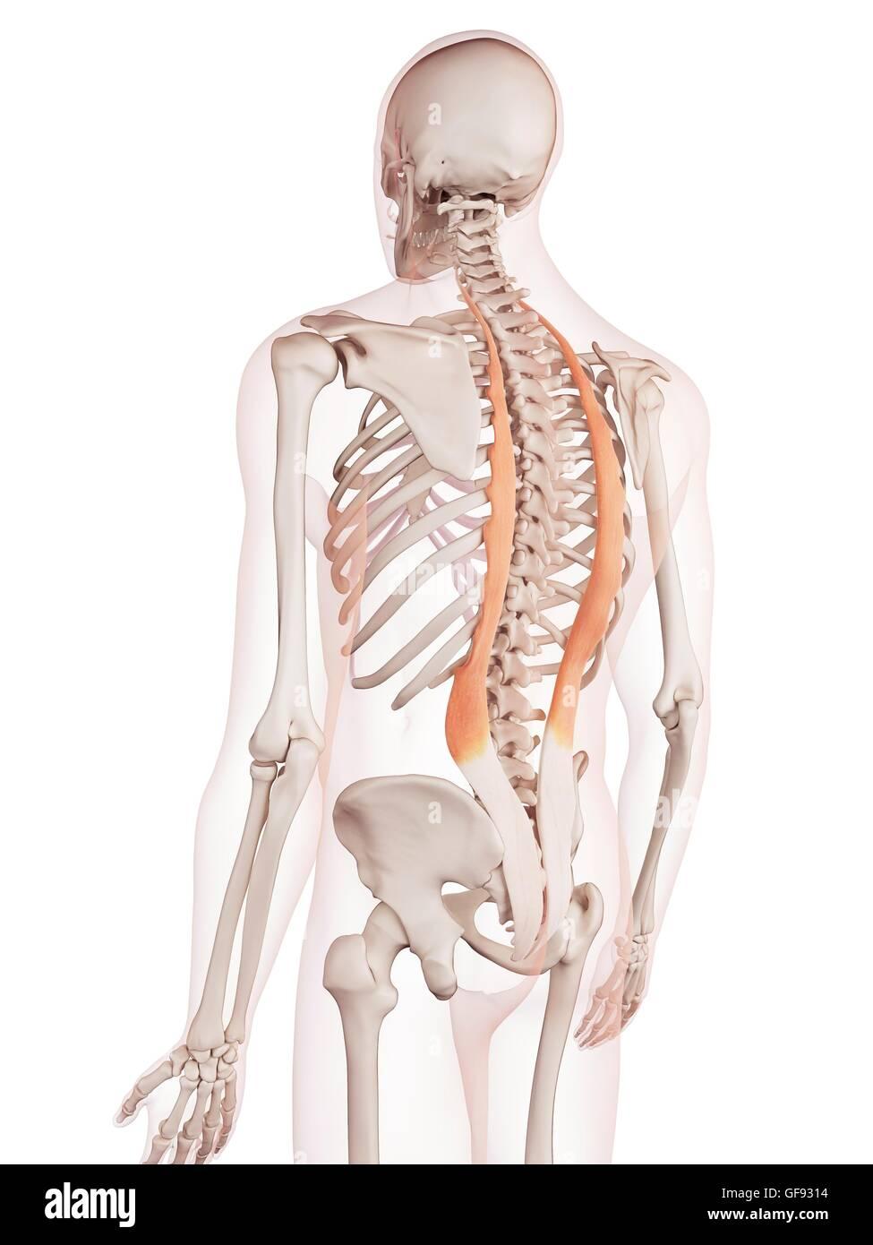 Ausgezeichnet Obere Rückenmuskulatur Bilder - Menschliche Anatomie ...