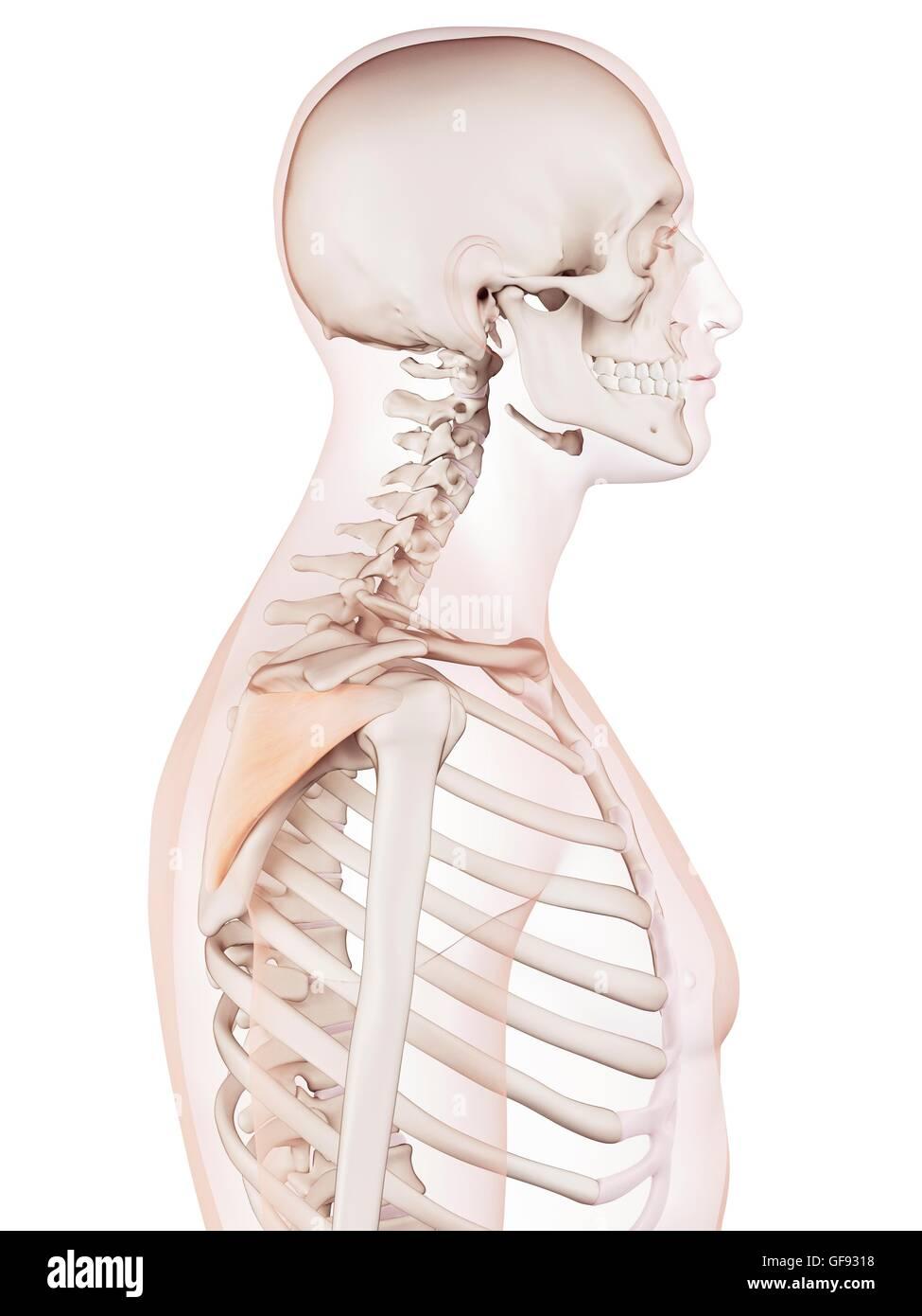 Infraspinatus Muscle Stockfotos & Infraspinatus Muscle Bilder - Alamy