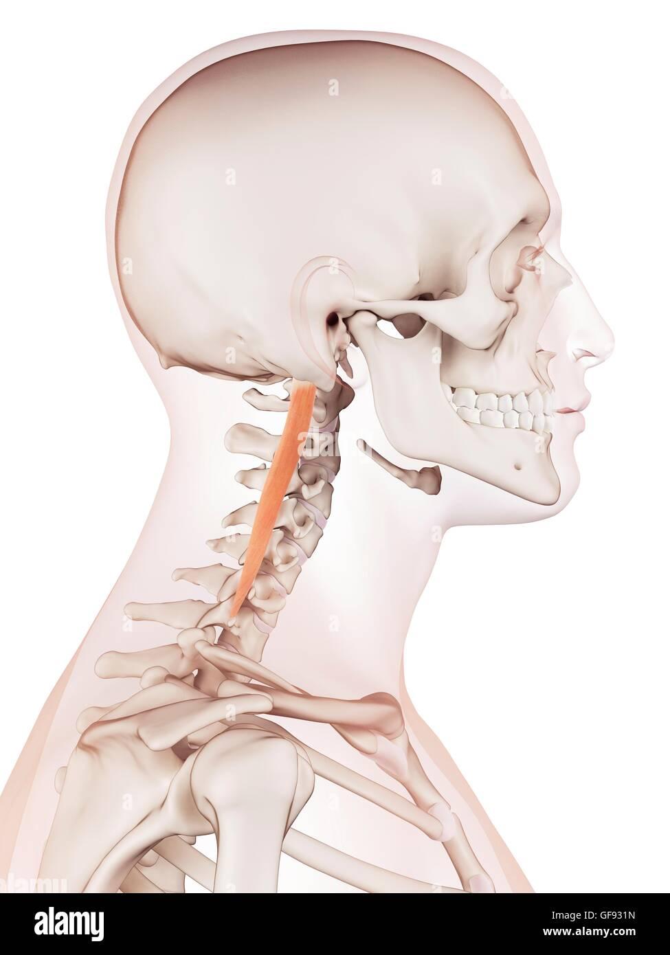 Menschlichen Nackenmuskulatur, Abbildung Stockfoto, Bild: 112682017 ...
