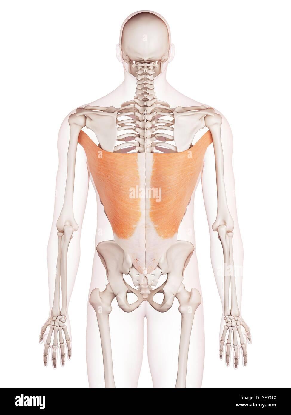 Muscles Bones Back Stockfotos & Muscles Bones Back Bilder - Alamy