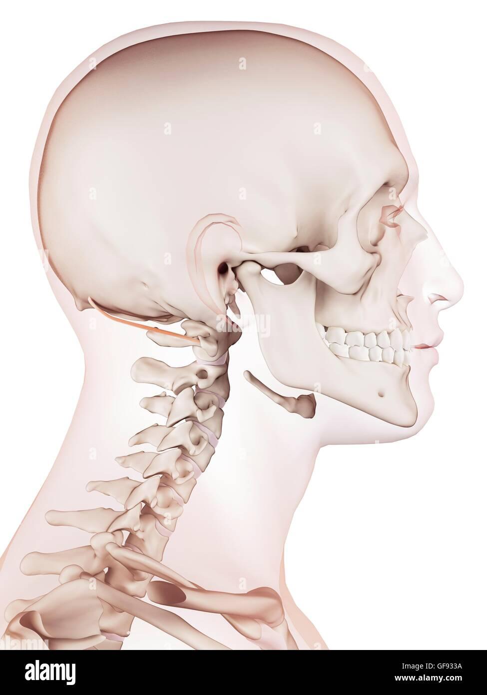 Beste Gesicht Und Nackenmuskulatur Fotos - Anatomie Von Menschlichen ...