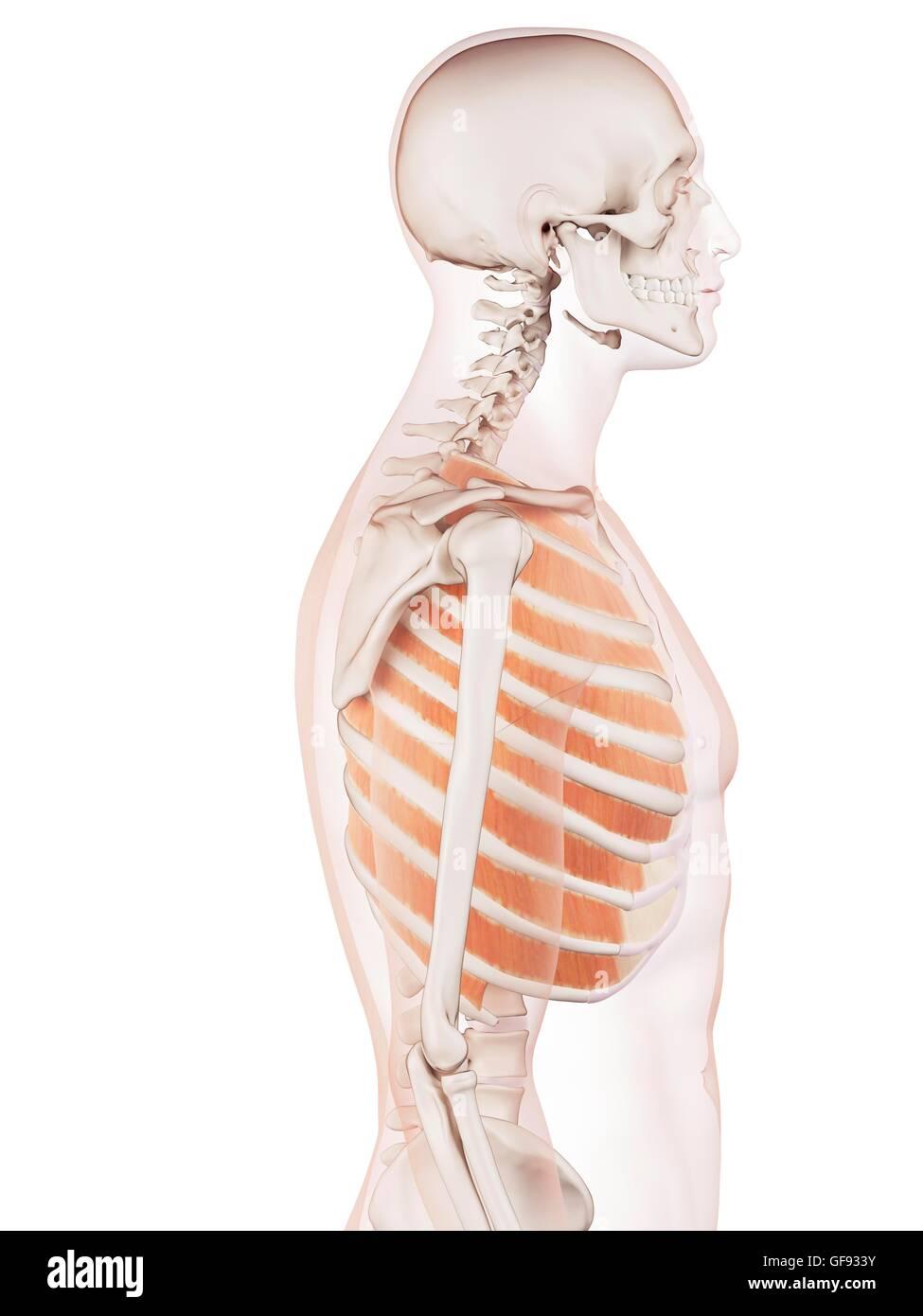 Ungewöhnlich Bild Von Brustmuskulatur Bilder - Menschliche Anatomie ...