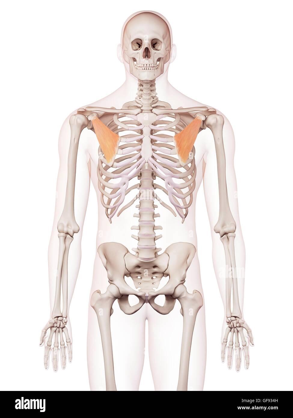 Erfreut Brustmuskel Anatomie Diagramm Fotos - Anatomie Ideen ...