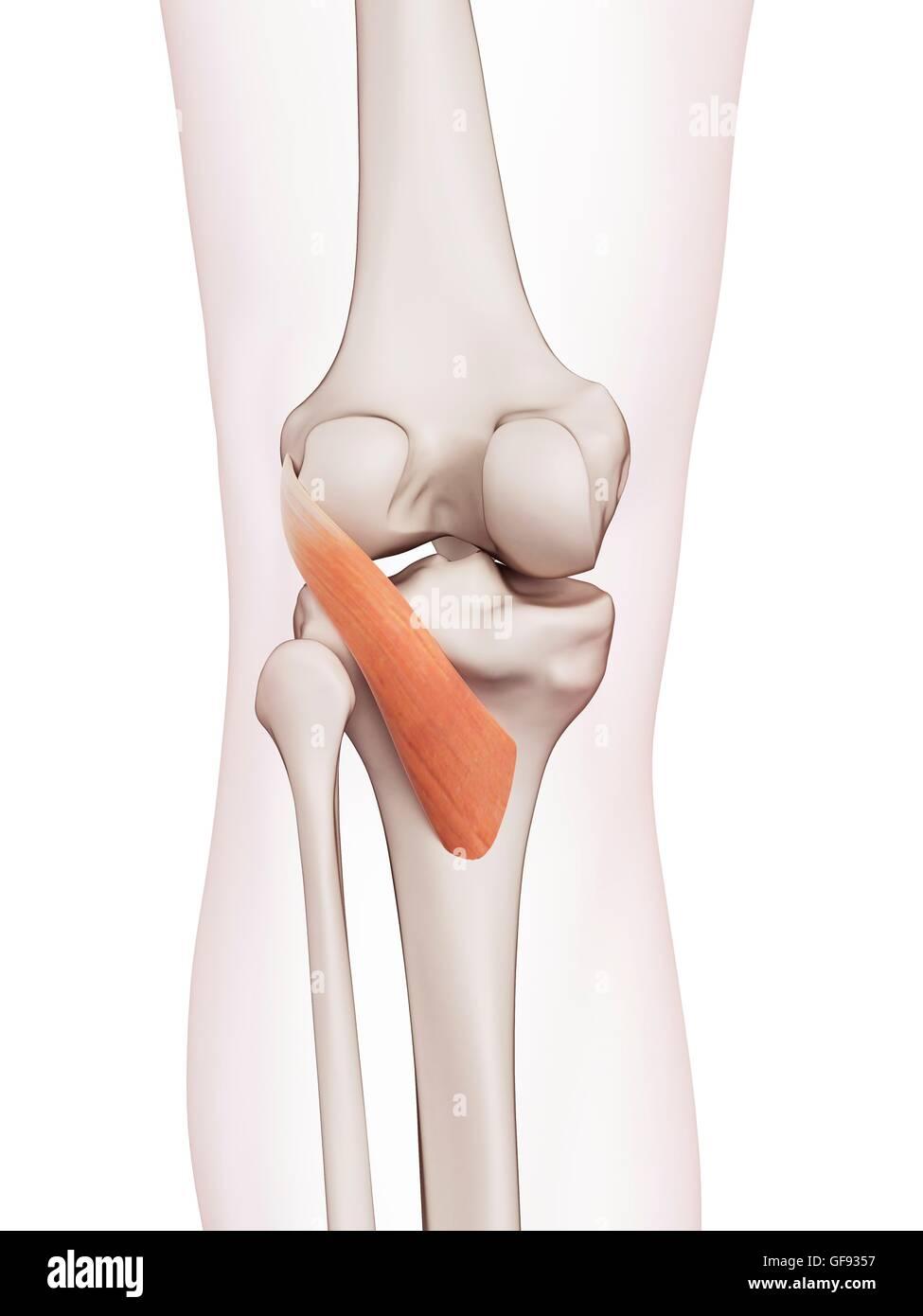 Tolle Anatomie Eines Menschlichen Knies Fotos - Anatomie Ideen ...