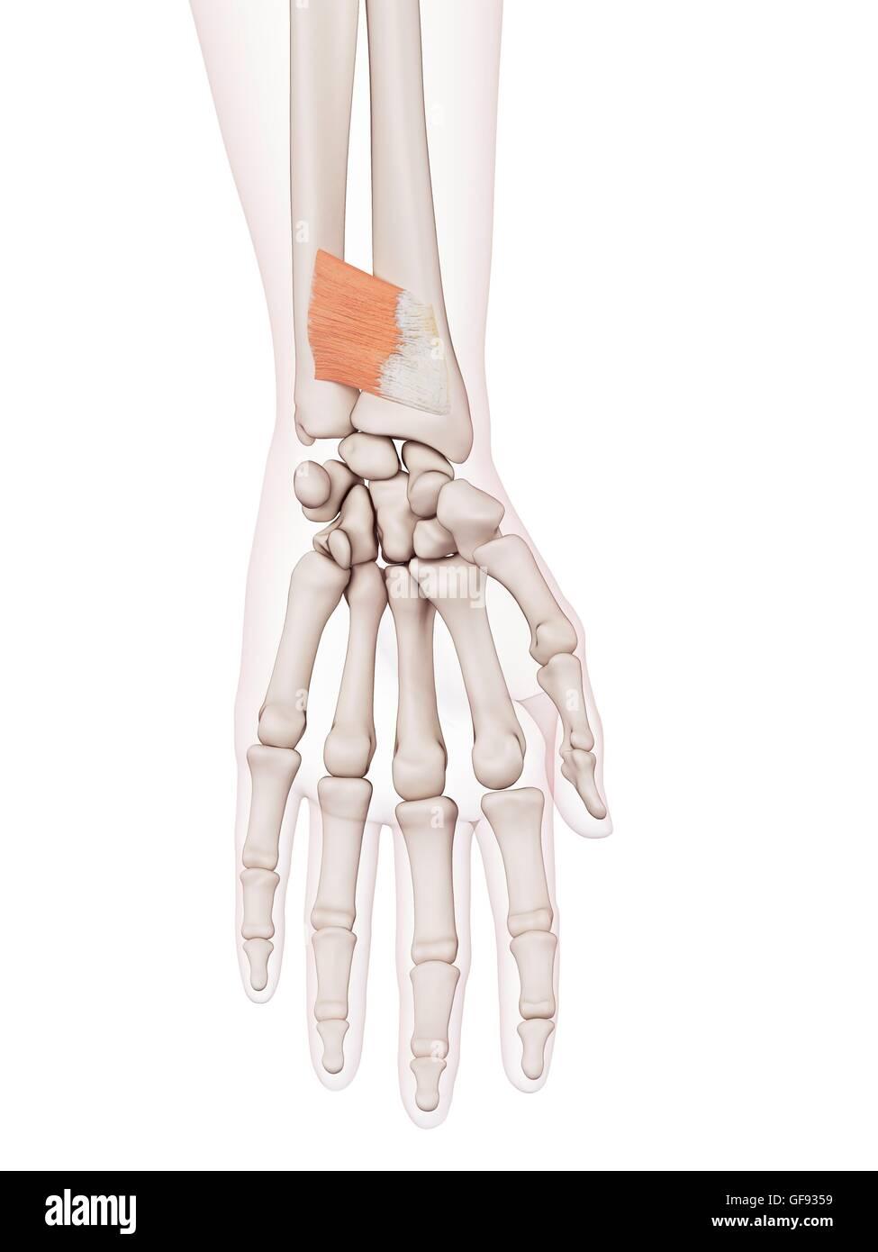 Tolle Handgelenk Nerven Anatomie Zeitgenössisch - Menschliche ...