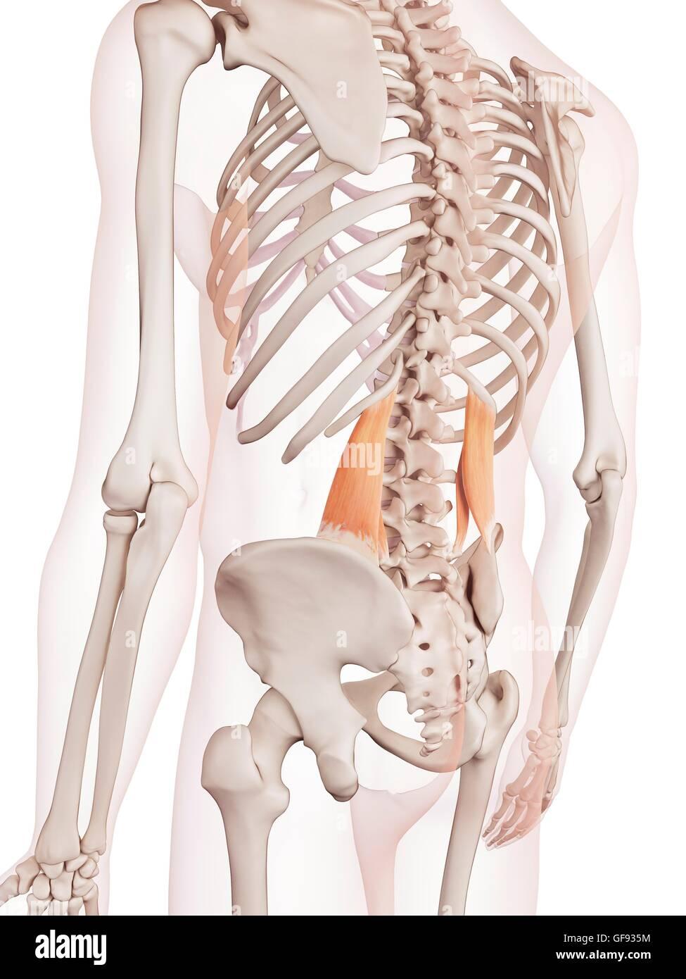 Menschliche Rückenmuskulatur, Abbildung Stockfoto, Bild: 112682128 ...
