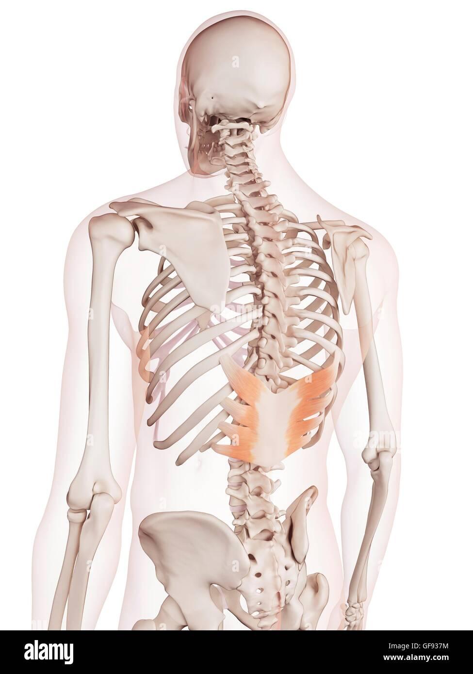 Ausgezeichnet Menschliche Rückenmuskulatur Diagramm Bilder ...