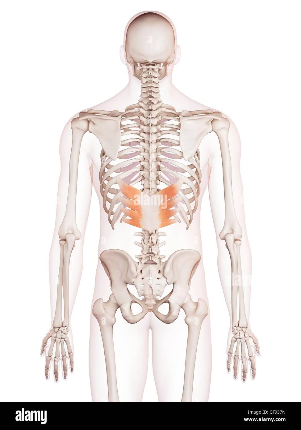 Fein Anatomie Der Rückenmuskulatur Im Menschlichen Körper Ideen ...