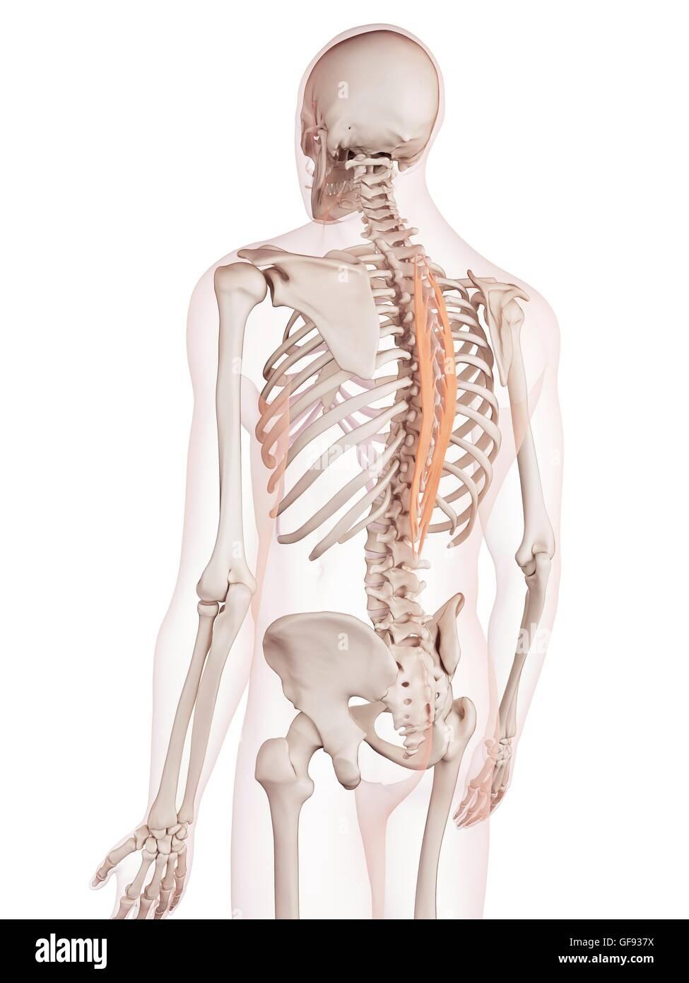 Menschliche Rückenmuskulatur, Abbildung Stockfoto, Bild: 112682190 ...