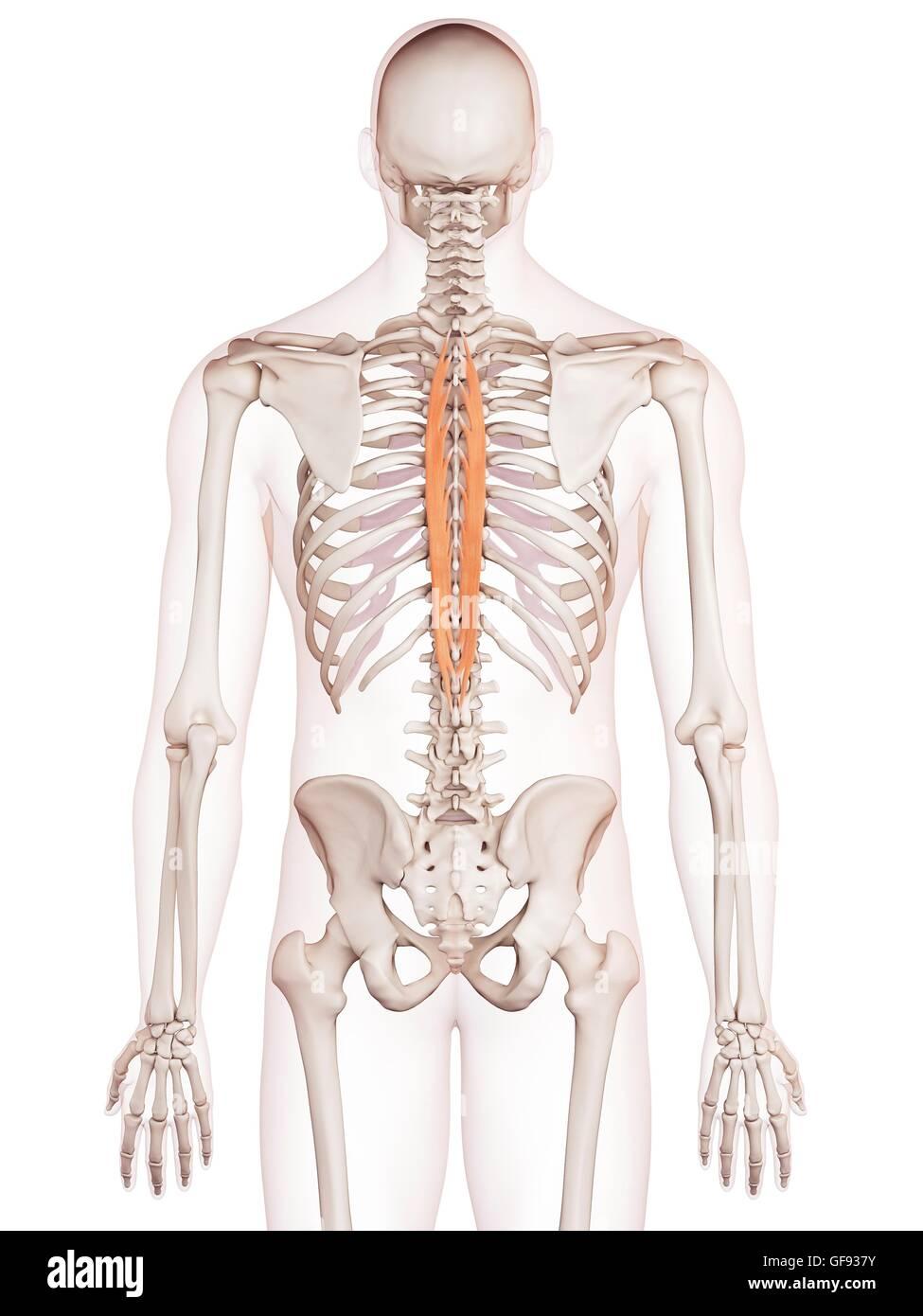 Menschliche Rückenmuskulatur, Abbildung Stockfoto, Bild: 112682191 ...