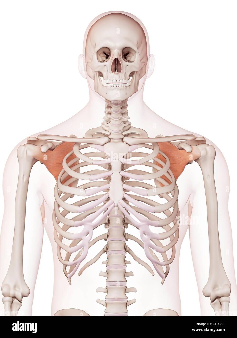 Erfreut Menschliche Schultermuskel Diagramm Fotos - Menschliche ...
